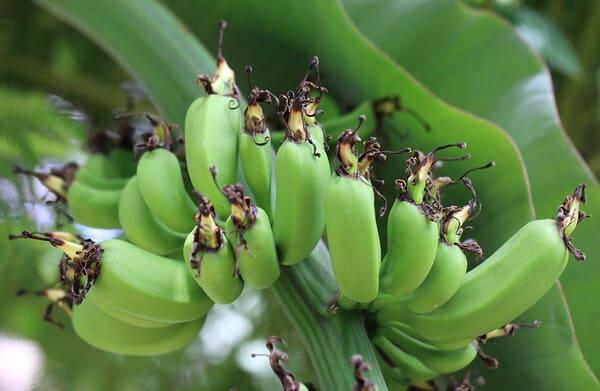 Banane-nane-Cavendish