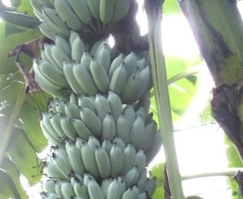 Tipo-di-banana-Blue-Java